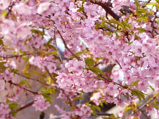 桜とオンザロード